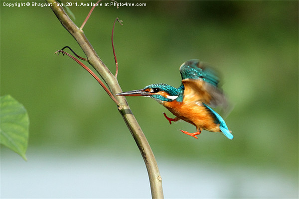 Common Kingfisher in flight. Canvas print by Bhagwat Tavri
