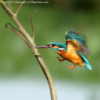 Buy canvas prints of Common Kingfisher in flight. by Bhagwat Tavri