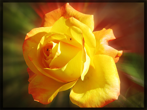 yellow rose Canvas print by anurag gupta
