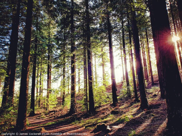 Sun through the trees. Acrylic by James Cockerell