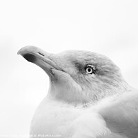 Buy canvas prints of High key herring gull by Elise Thomas