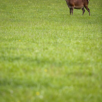 Buy canvas prints of One stag standing in a field by David Richardson