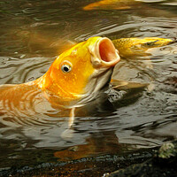 Buy canvas prints of Gaping Koi by Paddy Art