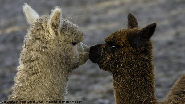 Alpacas Kissing Framed Mounted Print by Paul Tyzack
