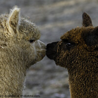 Buy canvas prints of Alpacas Kissing by Paul Tyzack