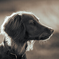 Buy canvas prints of Golden Spaniel by Paul Tyzack