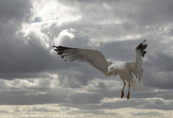 Landing Seagull Print by Marketa Zvelebil