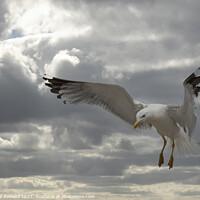 Buy canvas prints of Landing Seagull by Marketa Zvelebil