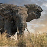 Buy canvas prints of African elephant approaching the Chobe river, Nami by Andy Dow