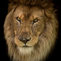 Buy canvas prints of Portrait of an african lion by Andy Dow