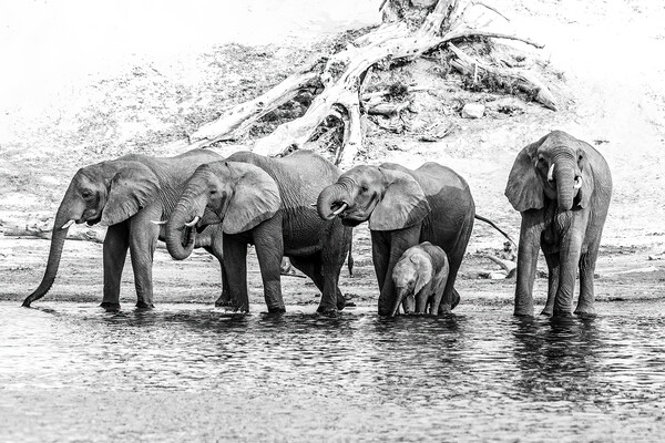 Elephants on the Chobe river Canvas Print by Andy Dow