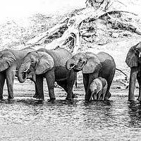 Buy canvas prints of Elephants on the Chobe river by Andy Dow