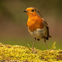 Buy canvas prints of Young robin by Andy Dow