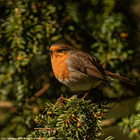 Buy canvas prints of A small robin perched on a tree branch by Andy Dow
