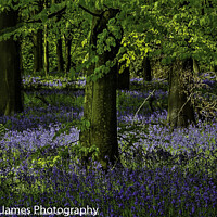 Buy canvas prints of Bluebell woods by Stephen Hollin