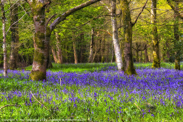 Bluebells in the Woods Print by Paul Stapleton