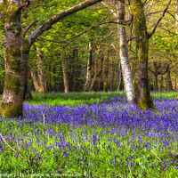 Buy canvas prints of Bluebells in the Woods by Paul Stapleton