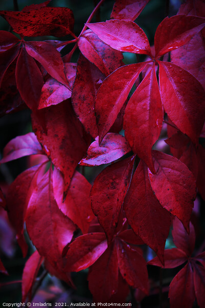 Dark Red Creeper Leaves Canvas Print by Imladris