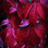 Buy canvas prints of Dark Red Creeper Leaves by Imladris