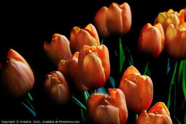 Beautiful Orange Tulips Dark Background Canvas Print by Imladris