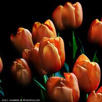 Buy canvas prints of Beautiful Orange Tulips Dark Background by Imladris