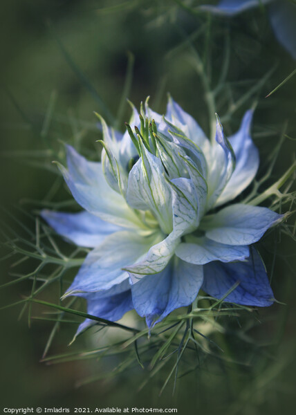 Romantic Blue Love in a Mist Flowers Acrylic by Imladris