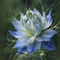 Buy canvas prints of Romantic Blue Love in a Mist Flowers by Imladris
