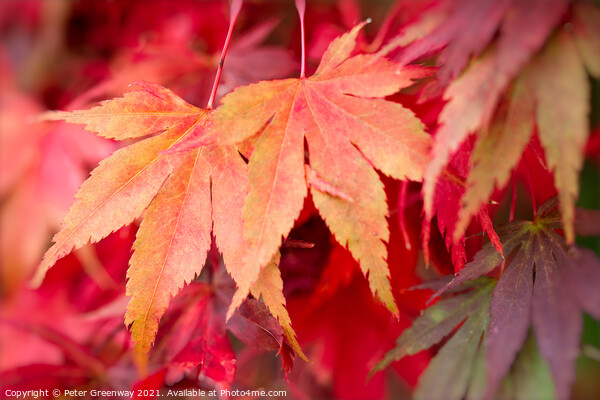 Colourful Autumn Maple Leaves At Batsford Arboretu Framed Print by Peter Greenway