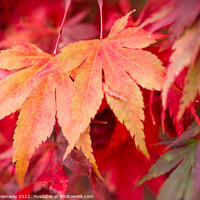 Buy canvas prints of Colourful Autumn Maple Leaves At Batsford Arboretu by Peter Greenway
