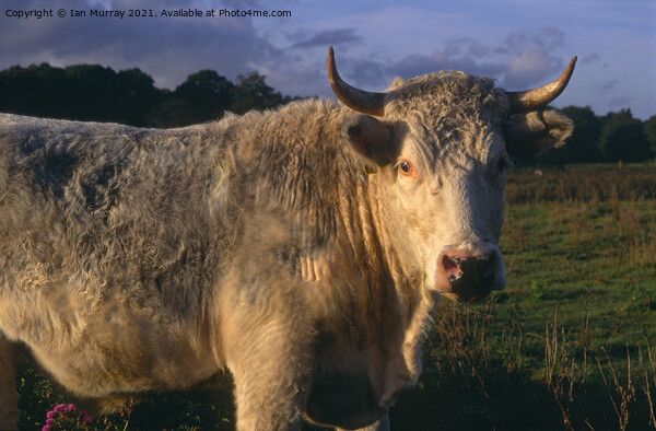White bull with horns  Acrylic by Ian Murray