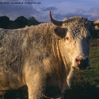 Buy canvas prints of White bull with horns  by Ian Murray