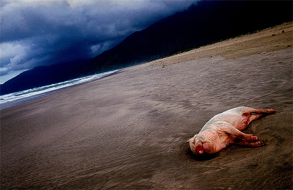 Pig on the beach Canvas Print by nick pautrat