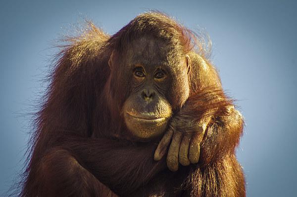 Orangutan Smile Canvas Print by Chris Walker