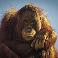 Buy canvas prints of  Orangutan Smile by Chris Walker