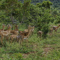 Buy canvas prints of The Impala Antelopes by Gilbert Hurree
