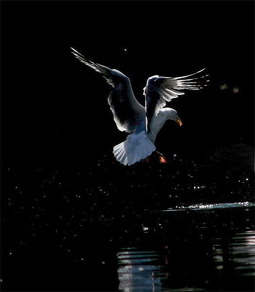 Seagull Landing Print by val butcher