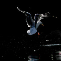 Buy canvas prints of Seagull Landing by val butcher