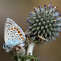 Buy canvas prints of butterfly on a Echinops adenocaulon by PhotoStock Israel