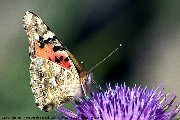 butterfly on a Silybum marianum Print by PhotoStock Israel