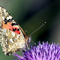 Buy canvas prints of butterfly on a Silybum marianum by PhotoStock Israel