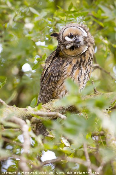 Long-eared Owl (Asio otus)  Canvas Print by PhotoStock Israel