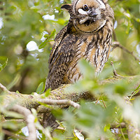 Buy canvas prints of Long-eared Owl (Asio otus)  by PhotoStock Israel