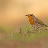 Buy canvas prints of European Robin (Erithacus rubecula)  by PhotoStock Israel