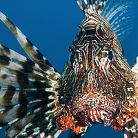 Buy canvas prints of Common Lionfish or devil firefish (Pterois miles)  by PhotoStock Israel