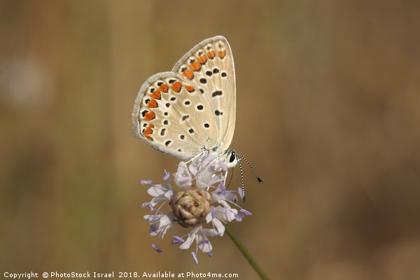 Common Blue (Polyommatus icarus) Print by PhotoStock Israel