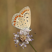Buy canvas prints of Common Blue (Polyommatus icarus) by PhotoStock Israel