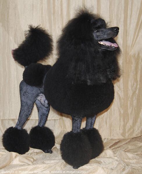 black standard poodle Canvas Print by PhotoStock Israel