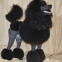 Buy canvas prints of black standard poodle by PhotoStock Israel