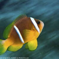 Buy canvas prints of Red Sea clownfish  by PhotoStock Israel