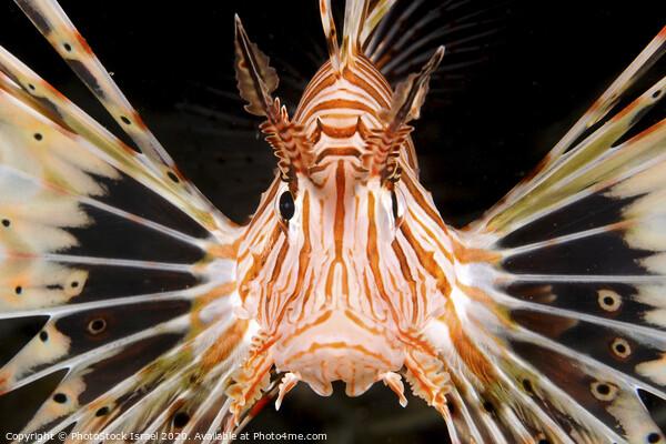 radial Lionfish Pterois radiata Framed Print by PhotoStock Israel